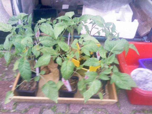 purin d 39 orties pour fertiliser les tomates au jardin forum de jardinage. Black Bedroom Furniture Sets. Home Design Ideas