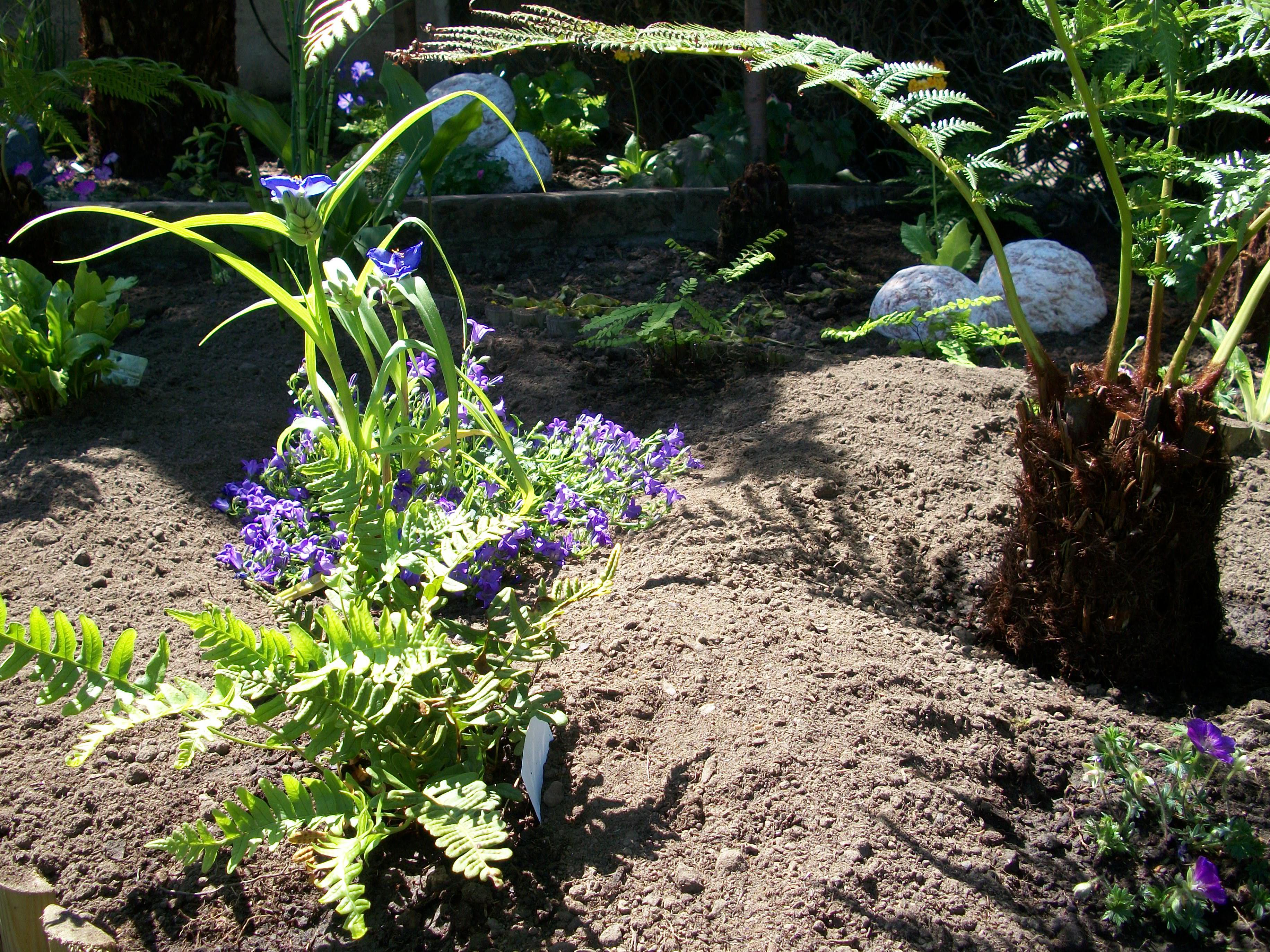dicksonia antartica fougere au jardin forum de jardinage. Black Bedroom Furniture Sets. Home Design Ideas