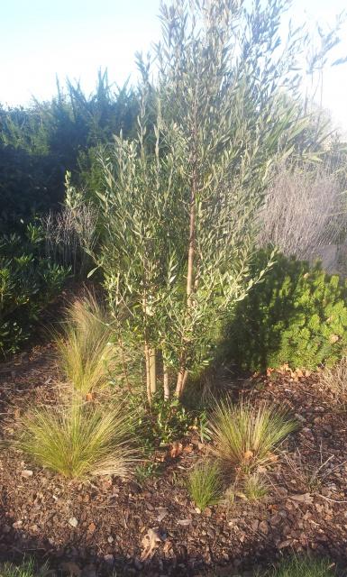 taille petit olivier - Au jardin, forum de jardinage