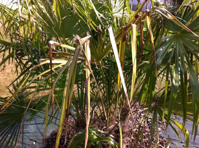 palmier feuilles marron