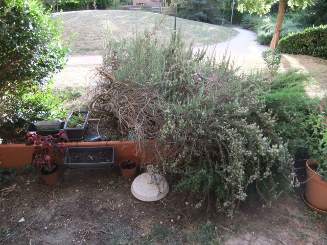 nouvelle jeunesse pour un vieux romarin au jardin forum de jardinage. Black Bedroom Furniture Sets. Home Design Ideas