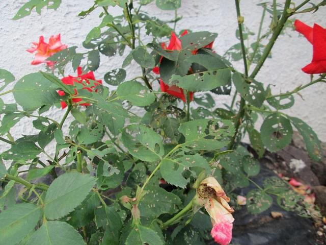 Feuilles trou es rosiers au jardin forum de jardinage - Feuilles de rosier qui jaunissent ...