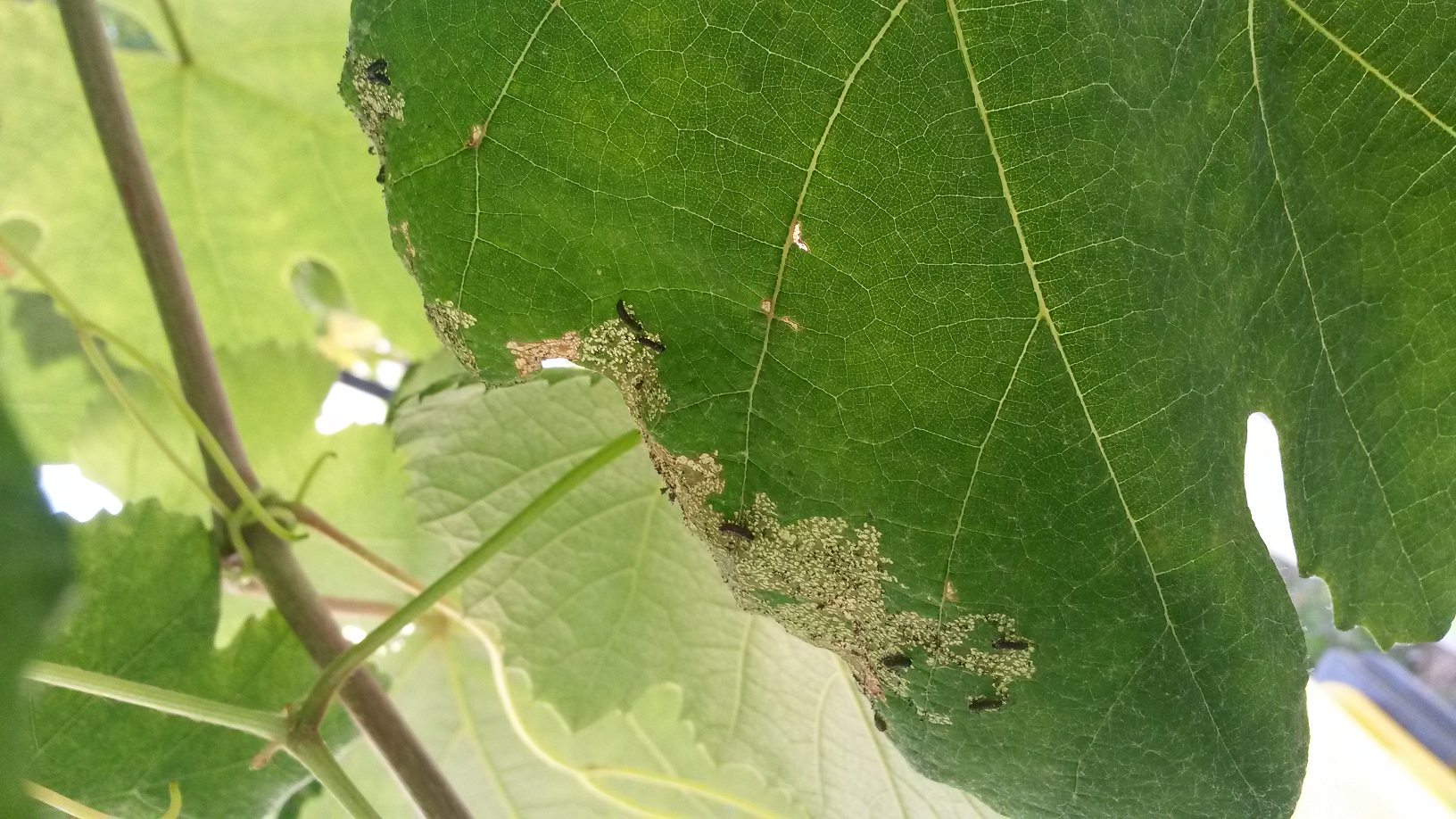 des larves noires sur mes feuilles de vignes au jardin forum de jardinage. Black Bedroom Furniture Sets. Home Design Ideas