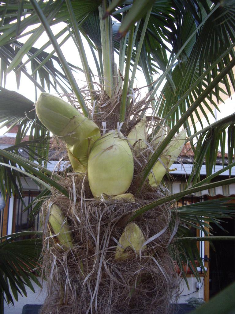tailler mon palmier