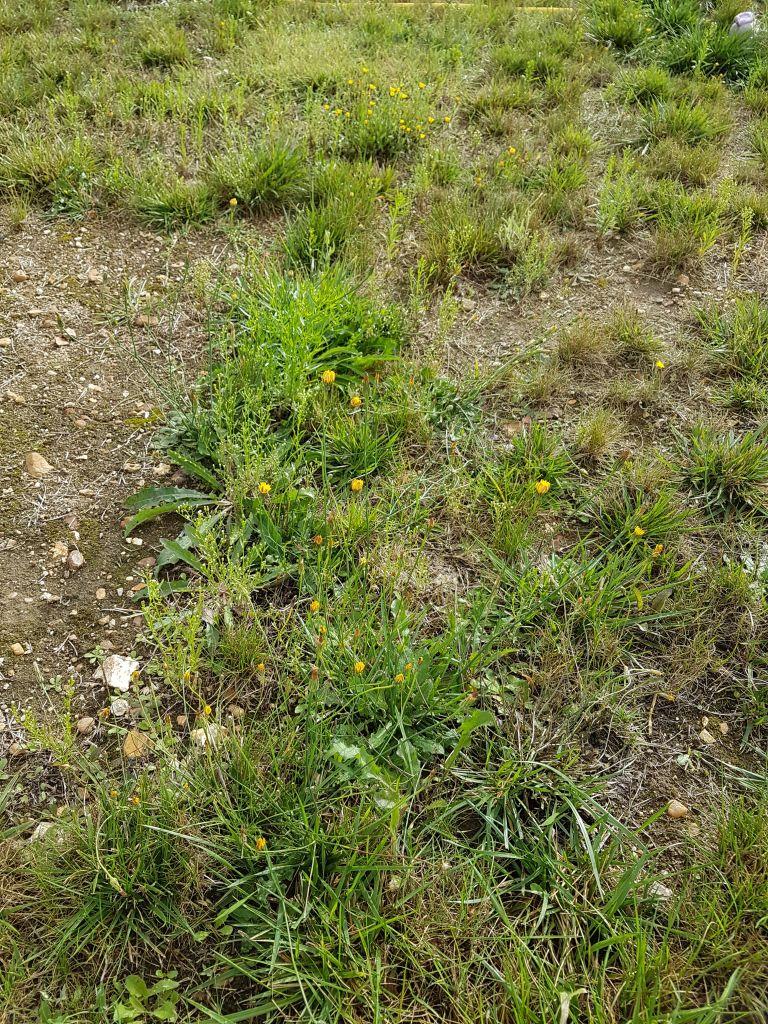 invasion mauvaises herbes refaire le gazon au jardin forum de jardinage. Black Bedroom Furniture Sets. Home Design Ideas
