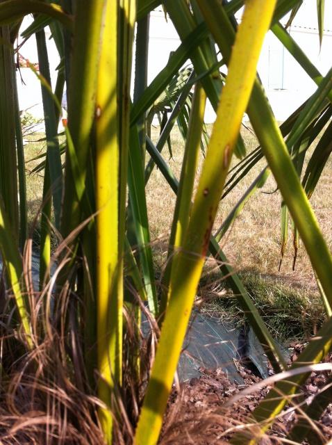 palmier qui jaunit