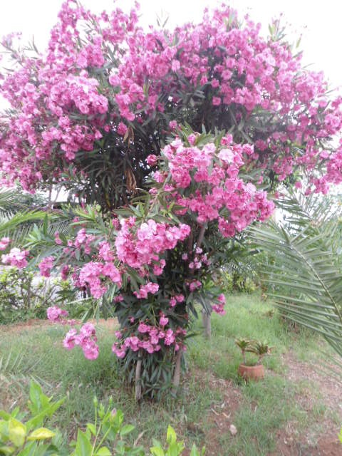 Les plantes toxiques au jardin et aux alentours page 2 - Laurier rose toxique au toucher ...