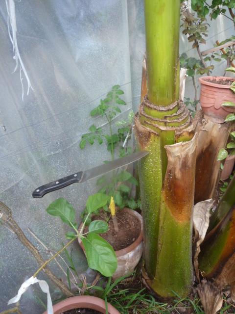 Osez tailler votre bananier - Au jardin, forum de jardinage