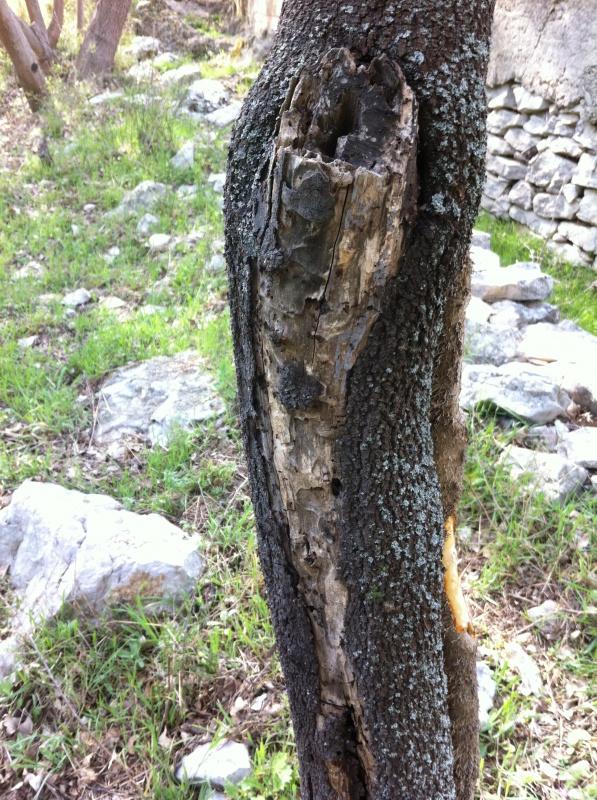 Maladie ou parasites tous mes arbres infect s au - Cochenille noire de l olivier ...