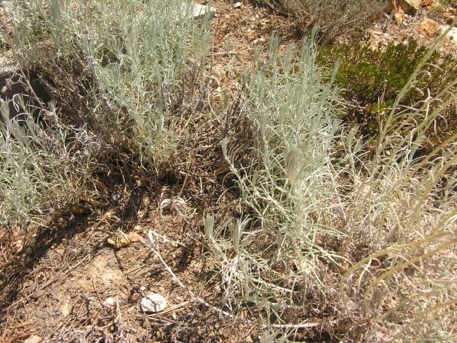 Massif de santoline et d 39 helycrisum qui se desseche au jardin forum de jardinage - Quand planter la lavande ...