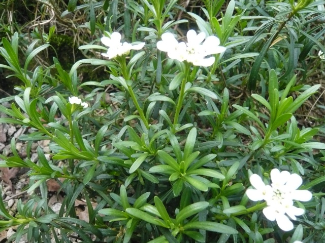 identifiees iberis semperverens vivace fleurs blanches. Black Bedroom Furniture Sets. Home Design Ideas