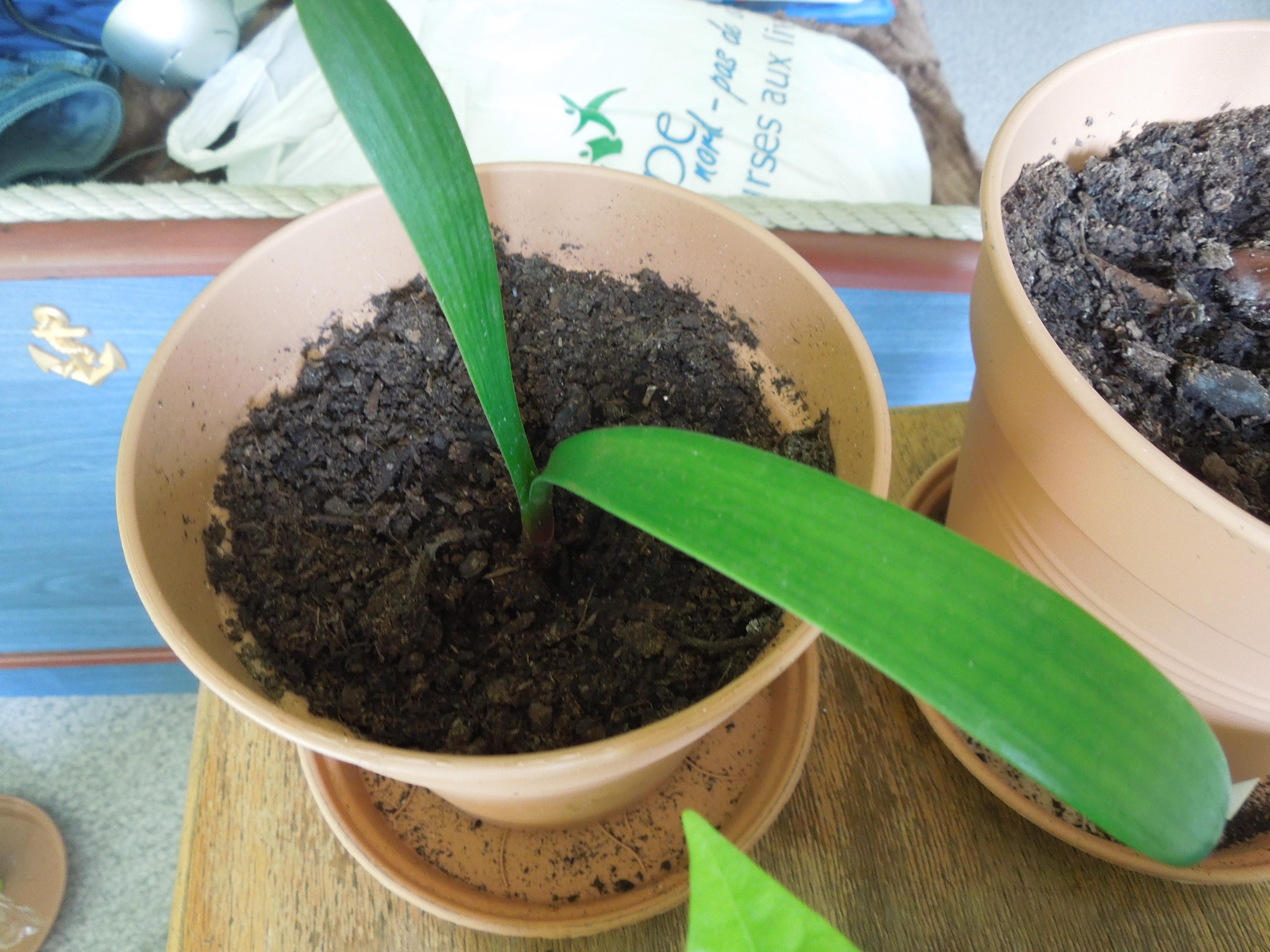 noel graine et noyau en interieur mangoustan ect page 20 au jardin forum de jardinage. Black Bedroom Furniture Sets. Home Design Ideas