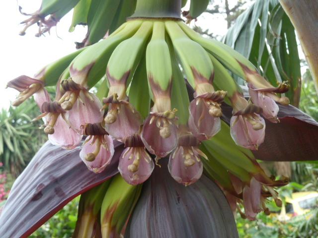 Floraison de bananier au jardin forum de jardinage - Faire pousser des bananes ...