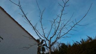 Premiere Taille Parasol Pour Murier Platane Au Jardin Forum De