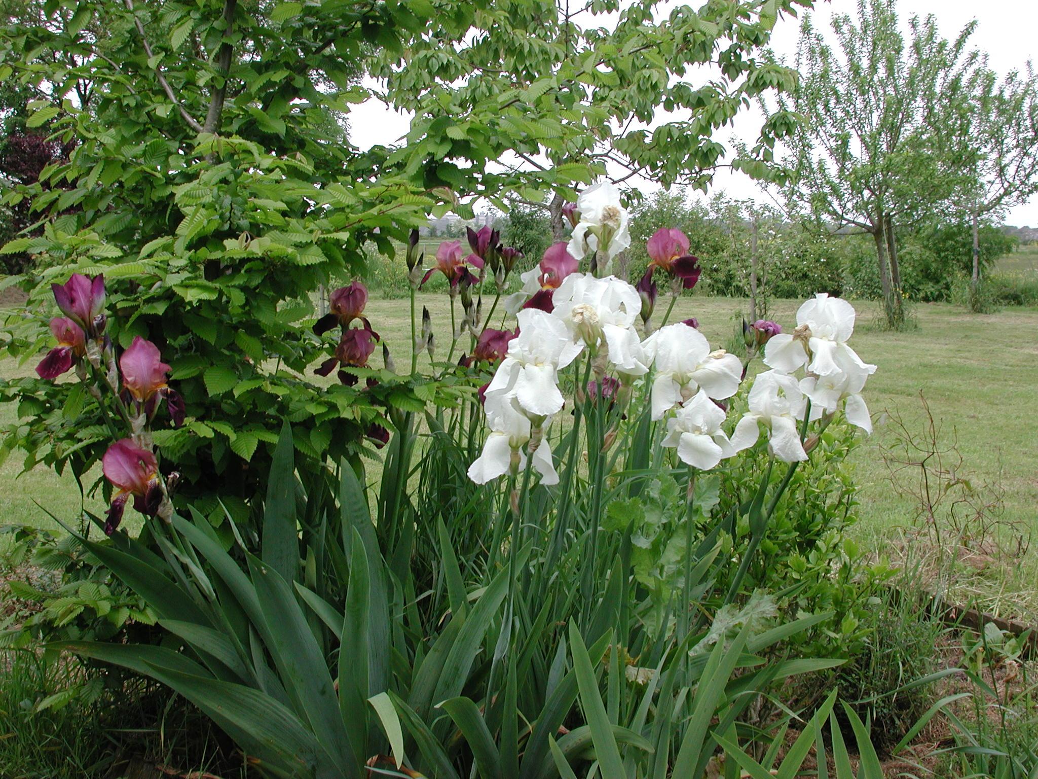 rhizomes d iris fichus au jardin forum de jardinage. Black Bedroom Furniture Sets. Home Design Ideas