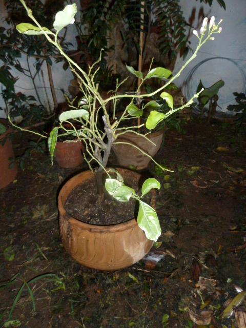 Fertiliser les agrumes en pot page 2 au jardin forum de jardinage - Agrumes en pot ...
