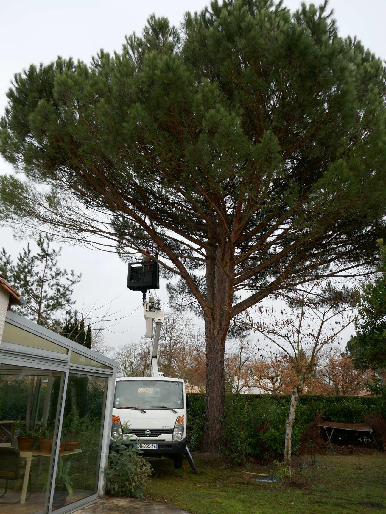 Pin Parasol Distance Maison plant de pin parasol - au jardin, forum de jardinage