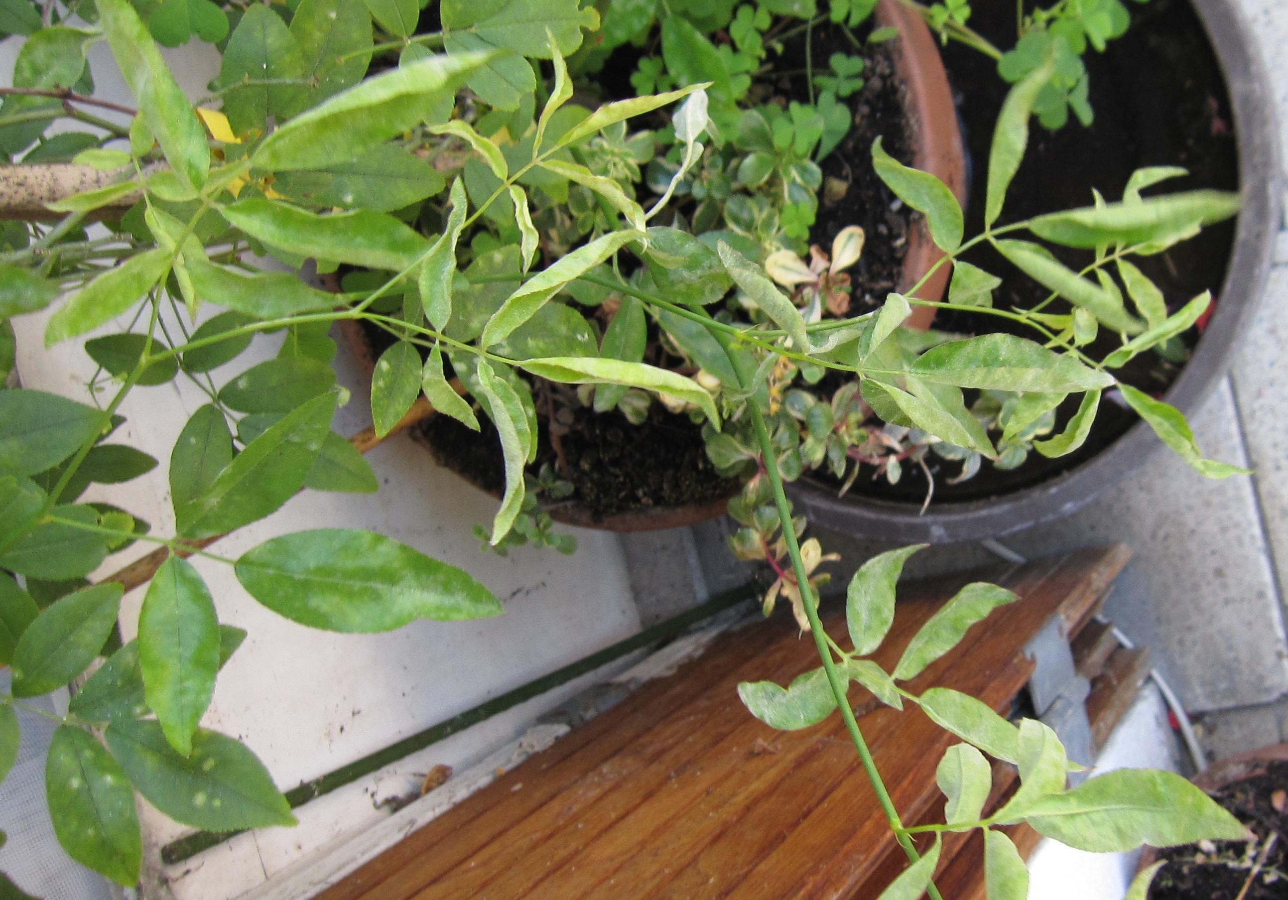 Identifie oidium rosier malade est ce de l 39 o dium au jardin forum de jardinage - Feuilles de rosier qui jaunissent ...