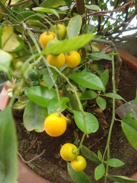 arbuste pomelos en pot qui ne donne pas de fruit au jardin forum de jardinage. Black Bedroom Furniture Sets. Home Design Ideas