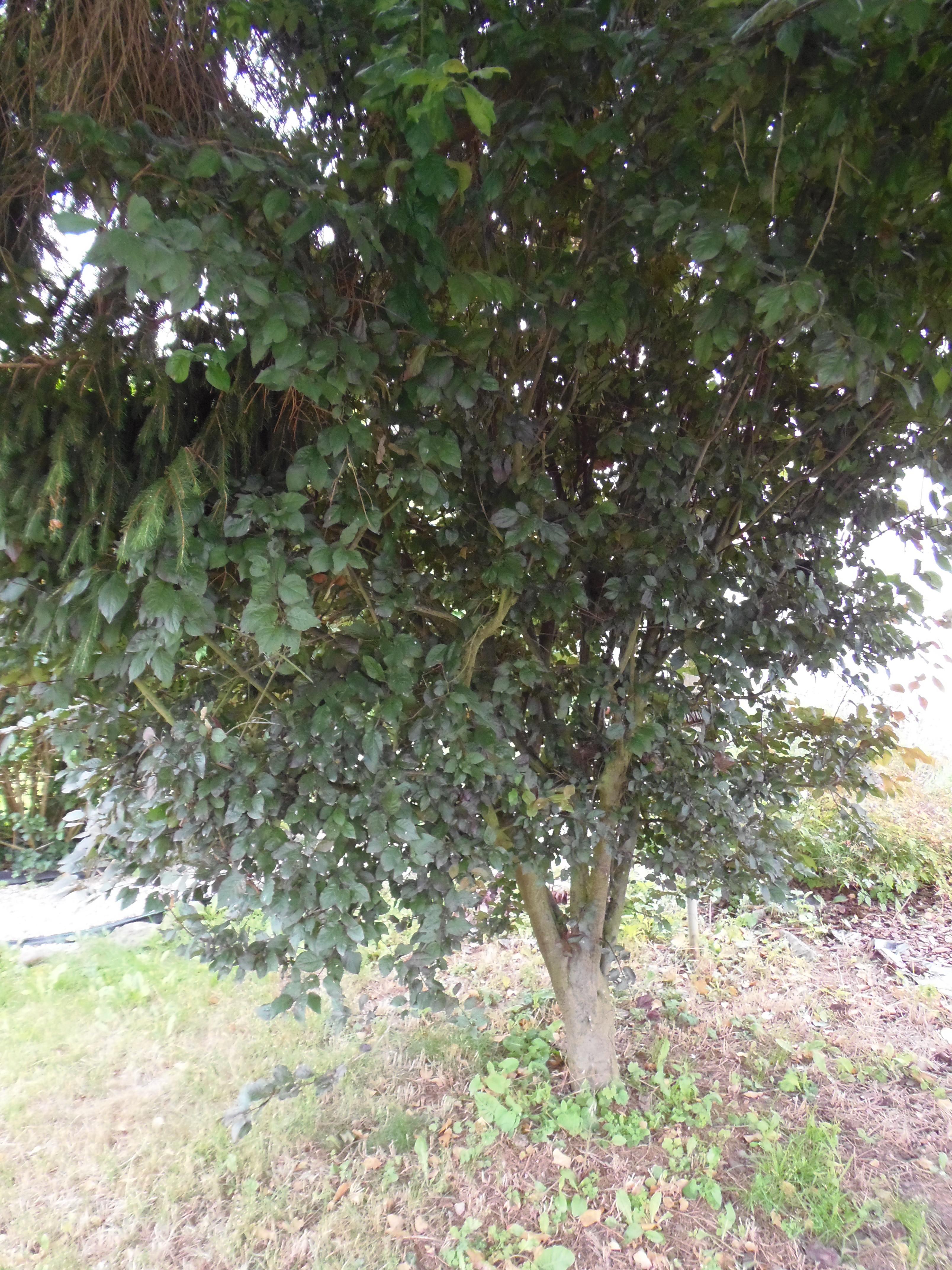 identifie prunus cerasifera arbre fruitier mais lequel au jardin forum de jardinage. Black Bedroom Furniture Sets. Home Design Ideas