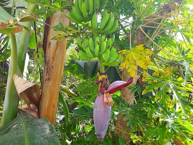 Osez Tailler Votre Bananier Page 3 Au Jardin Forum De Jardinage