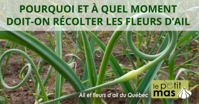Planter de l 39 ail germ au jardin forum de jardinage - Quand planter de l ail ...