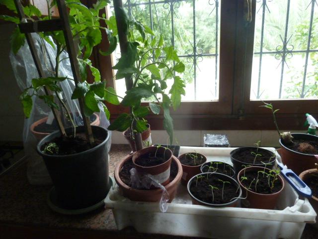 De Page Pour 5 Semis Tomates Au JardinForum Jardinage Lumière f76gyb