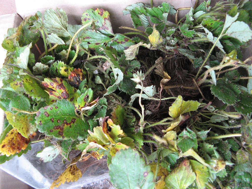 help ces fraisiers mara des bois sont ils malades au jardin forum de jardinage. Black Bedroom Furniture Sets. Home Design Ideas