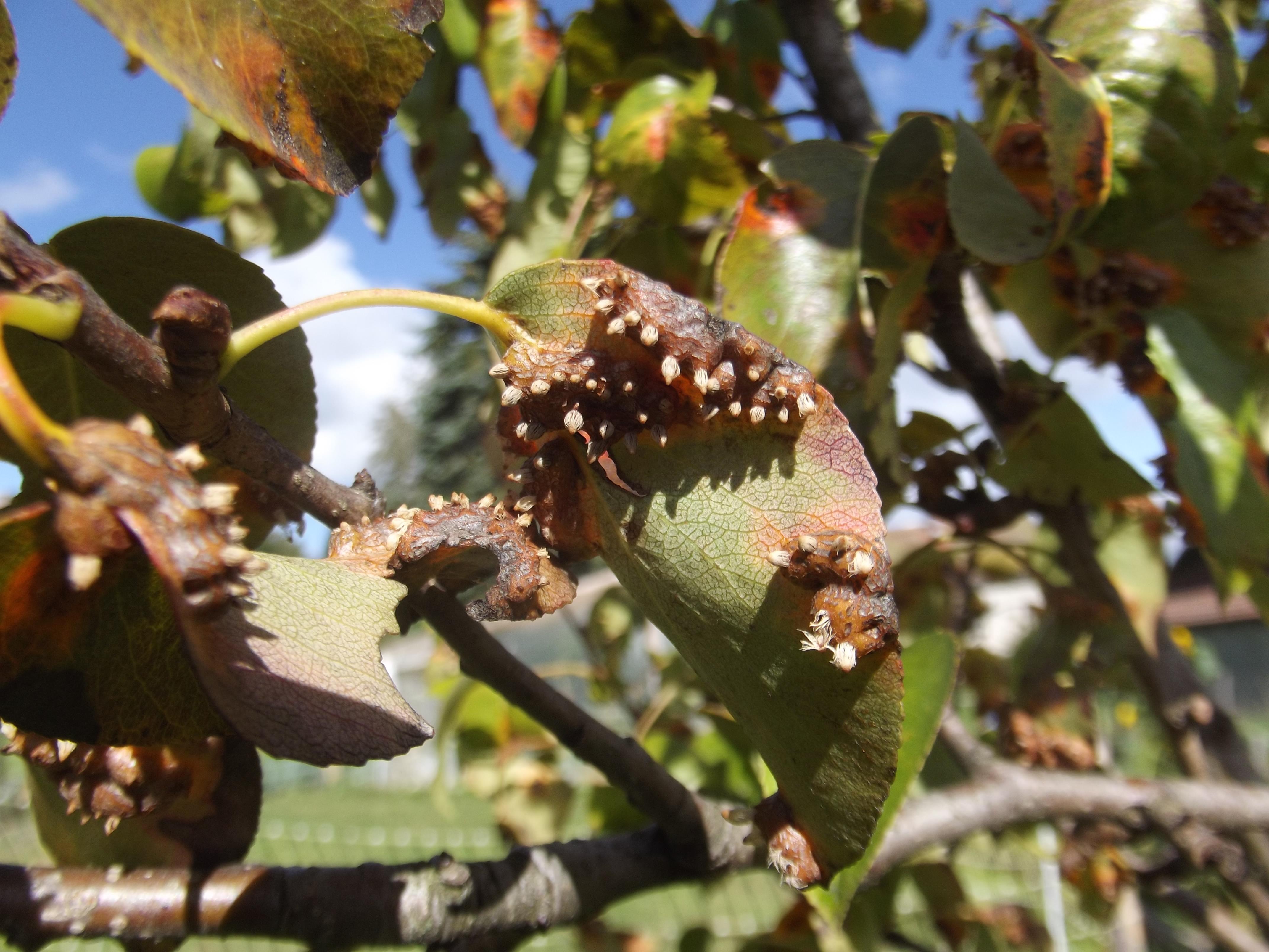 Maladie poirier rouille grillag e au jardin forum de jardinage - Maladie des arbres fruitiers ...
