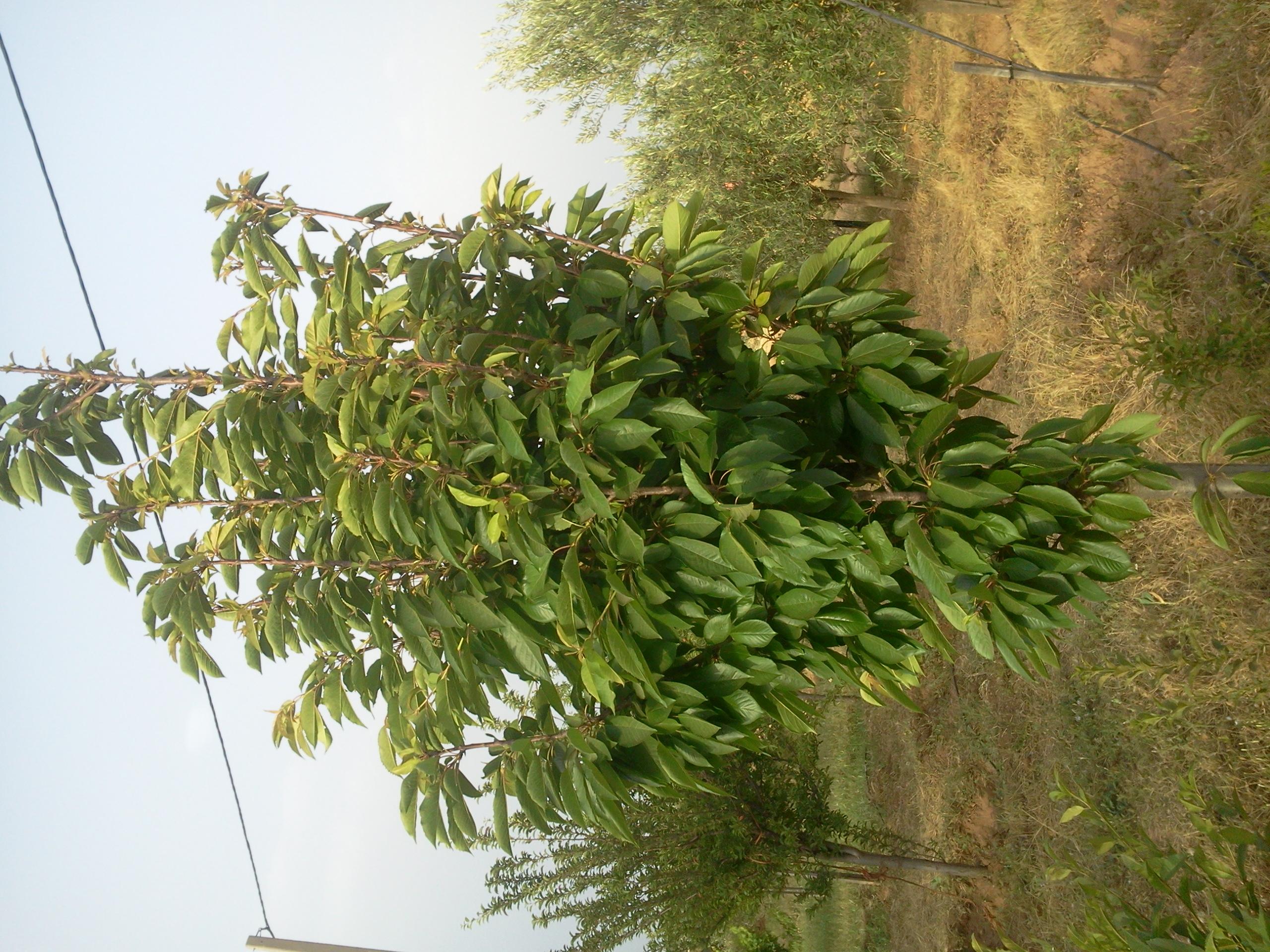 identifie prunus un arbre a identifier svp au jardin forum de jardinage. Black Bedroom Furniture Sets. Home Design Ideas