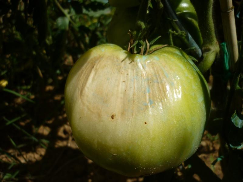 Semis et futur potager raf42 page 12 au jardin forum de jardinage - Coup de soleil tache blanche ...