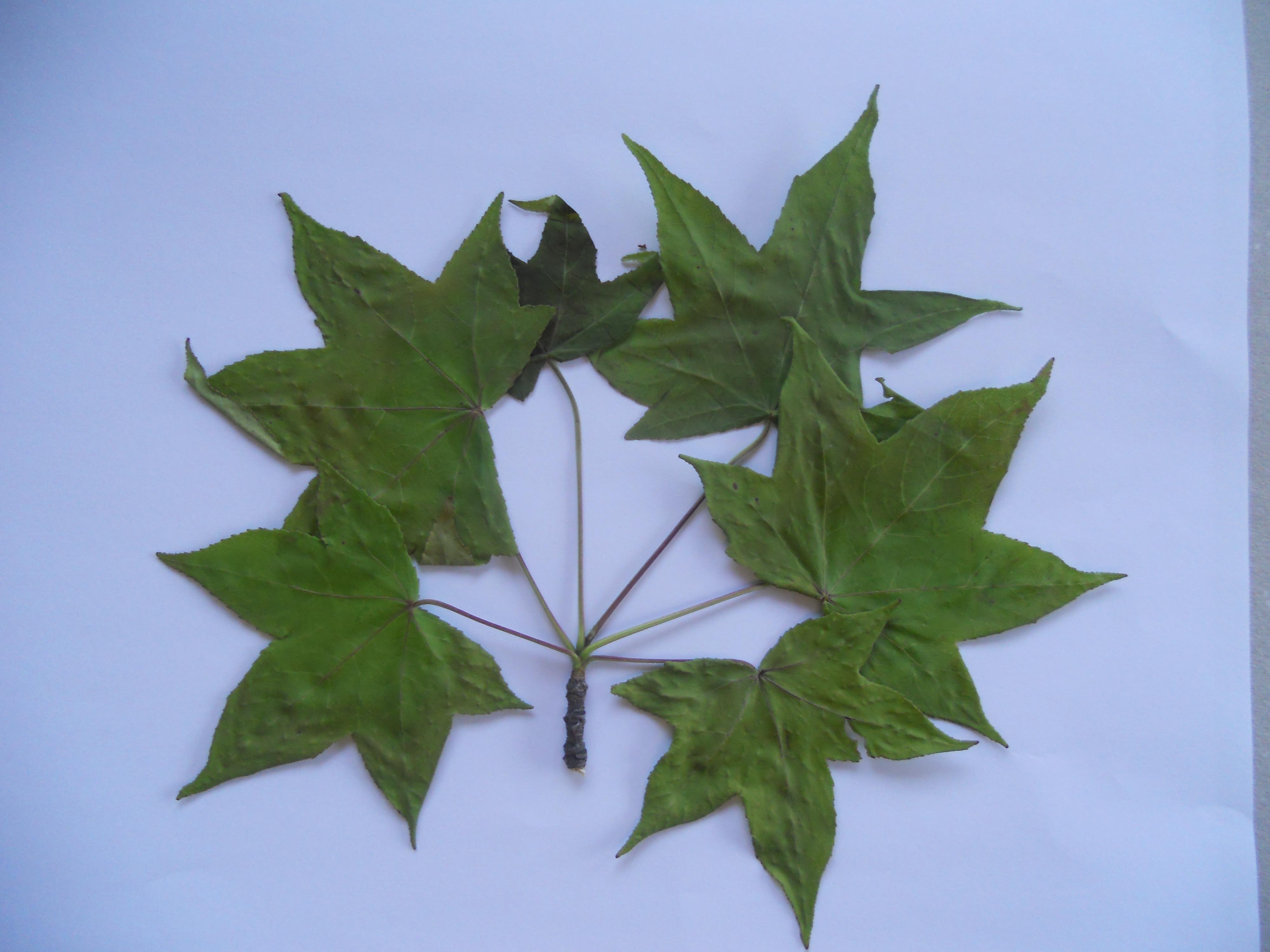 identifie liquidambar styraciflua erable au jardin forum de jardinage. Black Bedroom Furniture Sets. Home Design Ideas