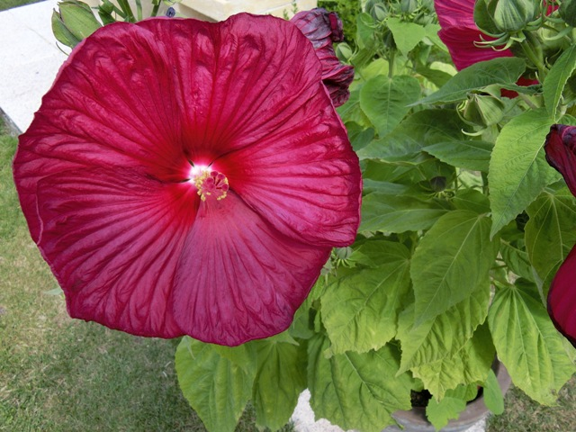 identifie luna red hibiscus mosheutos mais lequel au jardin forum de jardinage. Black Bedroom Furniture Sets. Home Design Ideas
