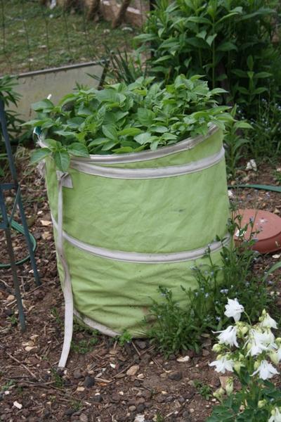 point sur ma culture de pommes de terre au jardin forum de jardinage. Black Bedroom Furniture Sets. Home Design Ideas