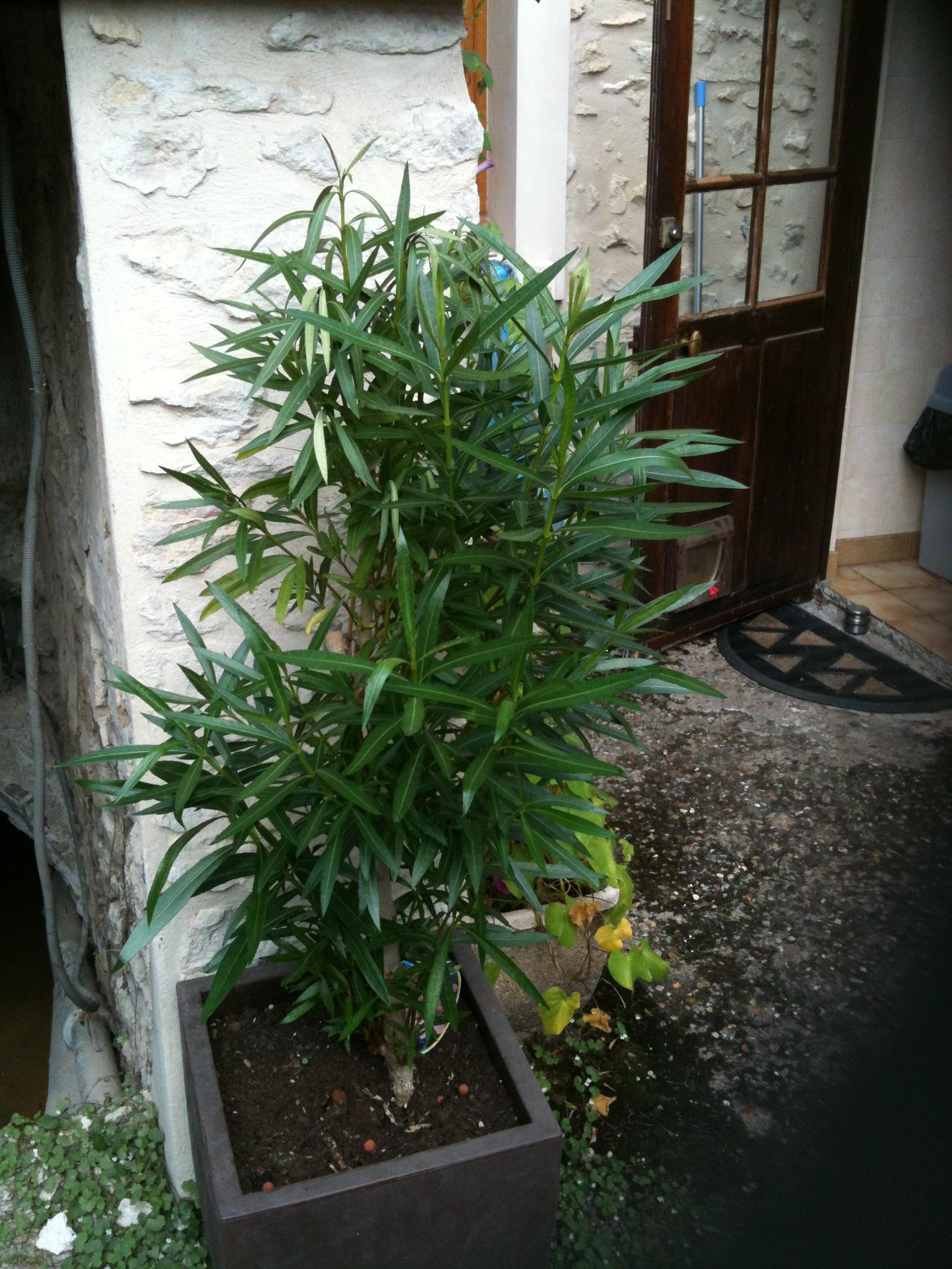 Mon laurier rose baisse du nez au jardin forum de jardinage - Laurier tige en pot ...