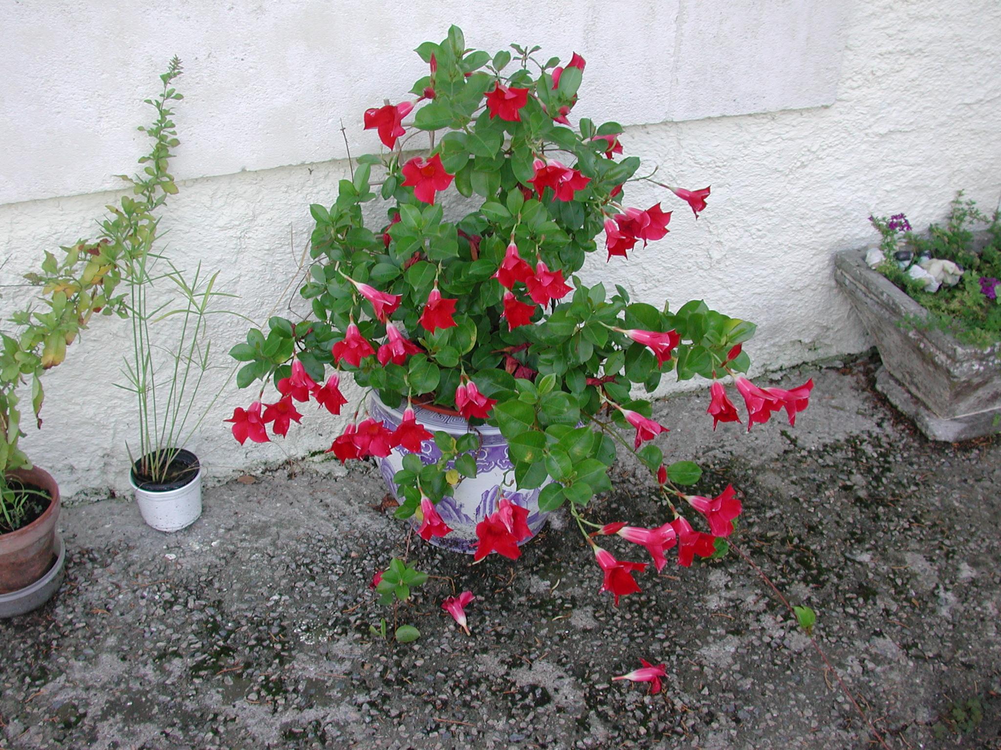 Diplad nia aux feuilles marron couper ou pas au jardin - Difference entre cafard et cafard de jardin ...