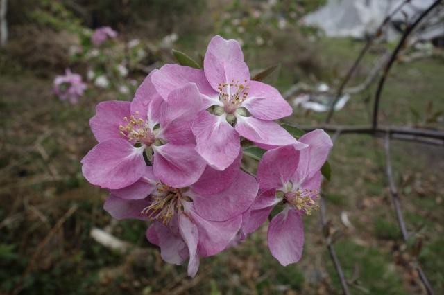 Fleur D Avril Ne Tient Qu A Un Fil Page 4 Au Jardin Forum