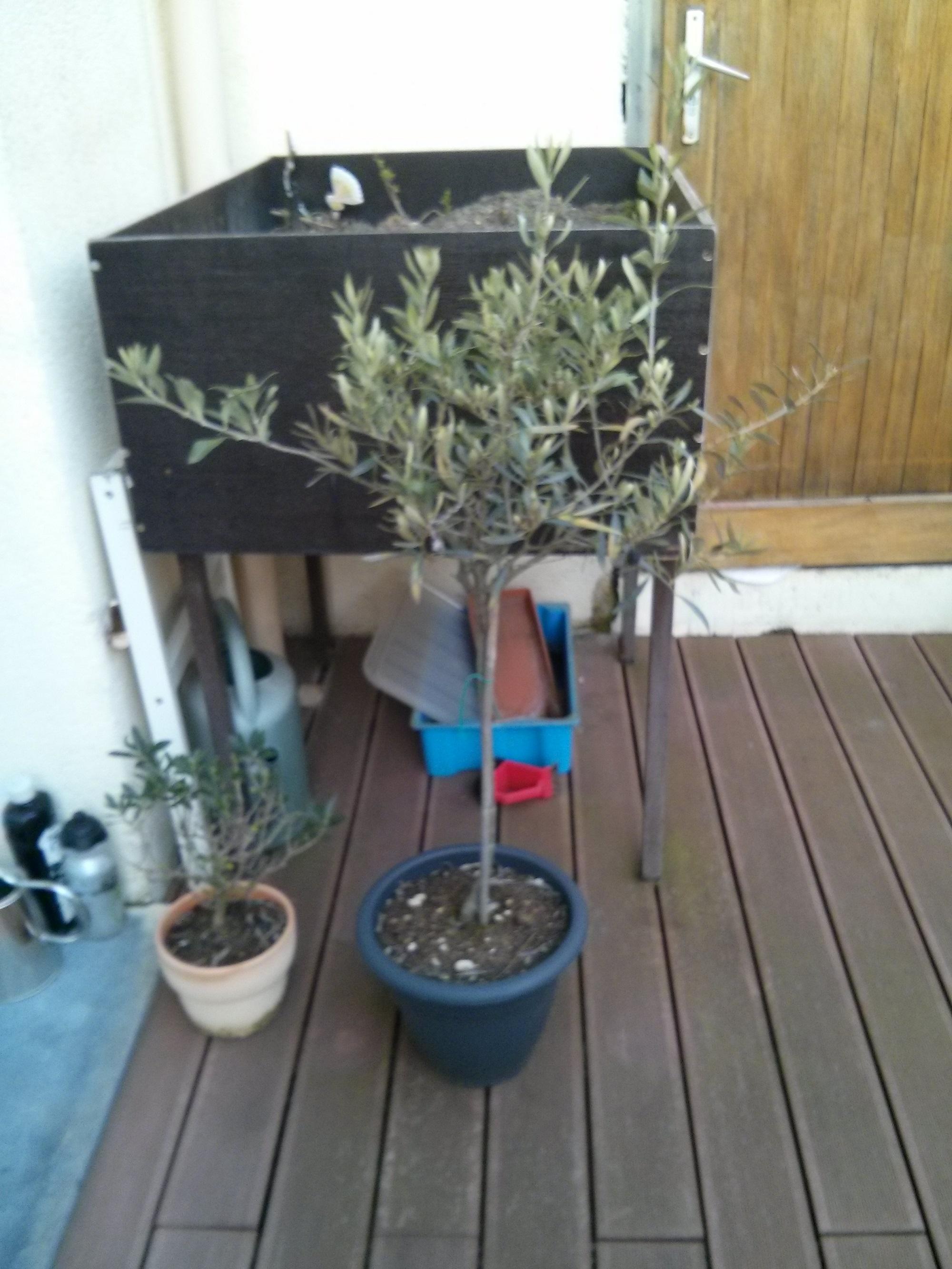 Taille olivier - Au jardin, forum de jardinage