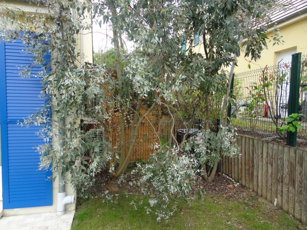 Identifie eucalyptus un arbre qui pousse trop vite au jardin forum de jardinage - Haie de jardin qui pousse vite ...