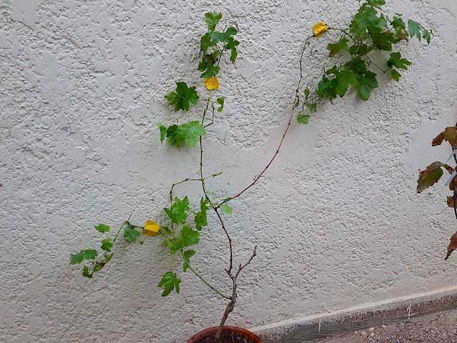 Comment tailler une vigne en pot page 12 au jardin - Comment tailler une treille de raisin ...