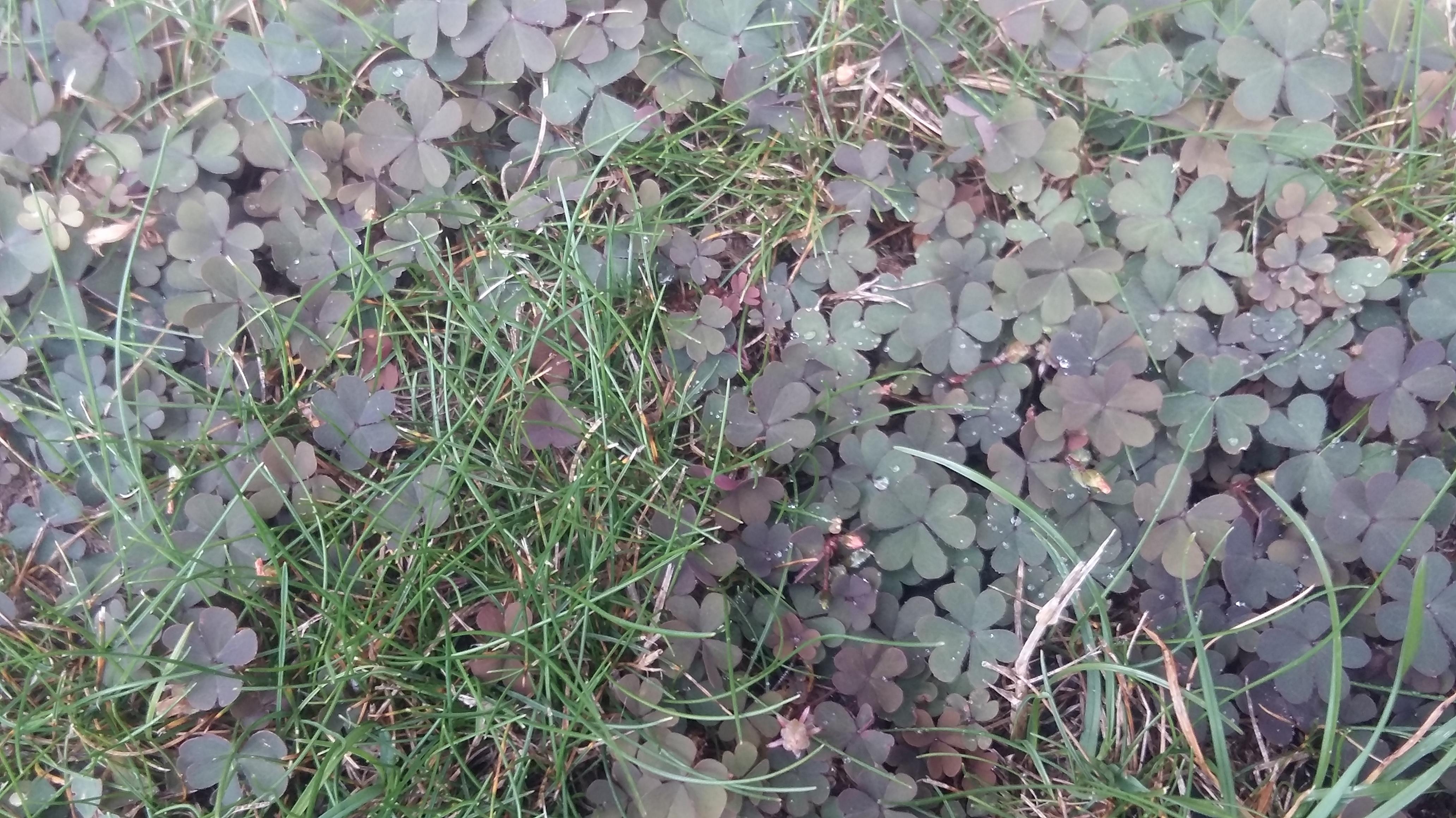 quelqu 39 un connait cette mauvaise herbe au jardin forum de jardinage. Black Bedroom Furniture Sets. Home Design Ideas