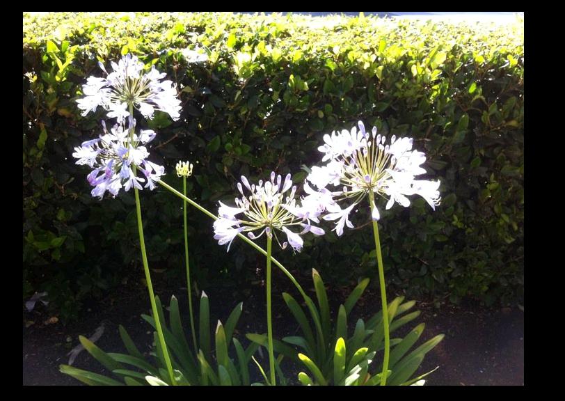 plante a fleurs blanches et bleues au jardin forum de jardinage. Black Bedroom Furniture Sets. Home Design Ideas