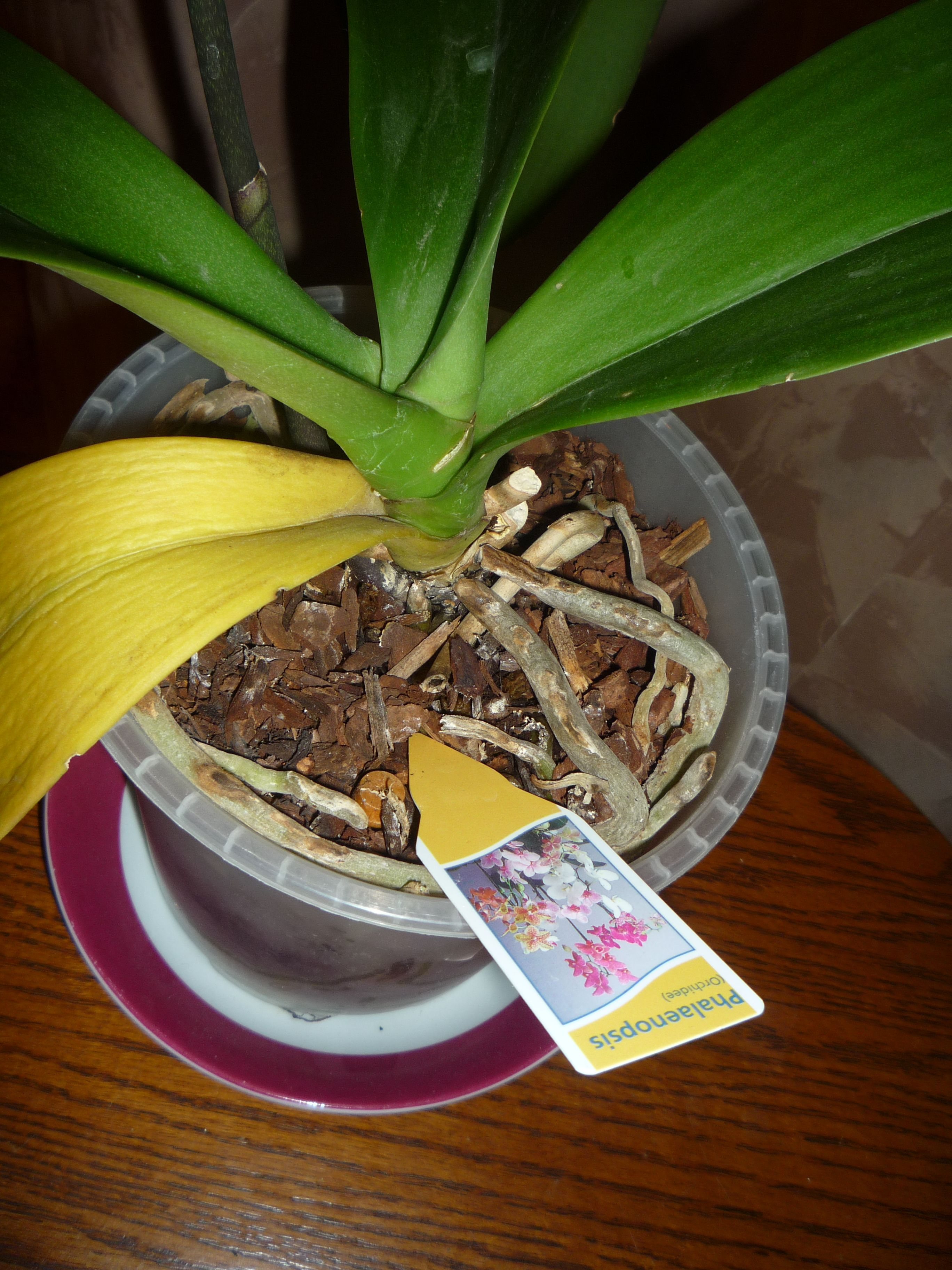 orchidee jaunissement feuilles