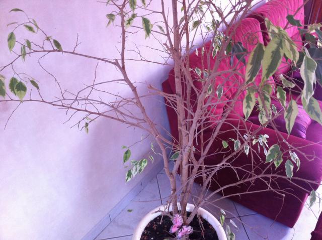 aide pour un ficus mal au point au jardin forum de jardinage. Black Bedroom Furniture Sets. Home Design Ideas