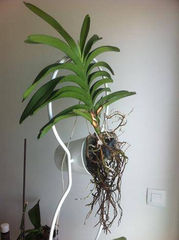 orchidee vanda racines noires