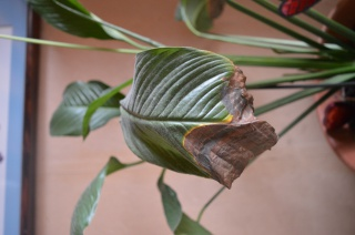 mon spathiphyllum se meurt au jardin forum de jardinage. Black Bedroom Furniture Sets. Home Design Ideas