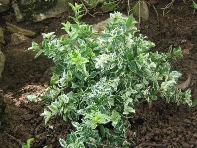 identification plante arbustive couvrante au jardin. Black Bedroom Furniture Sets. Home Design Ideas
