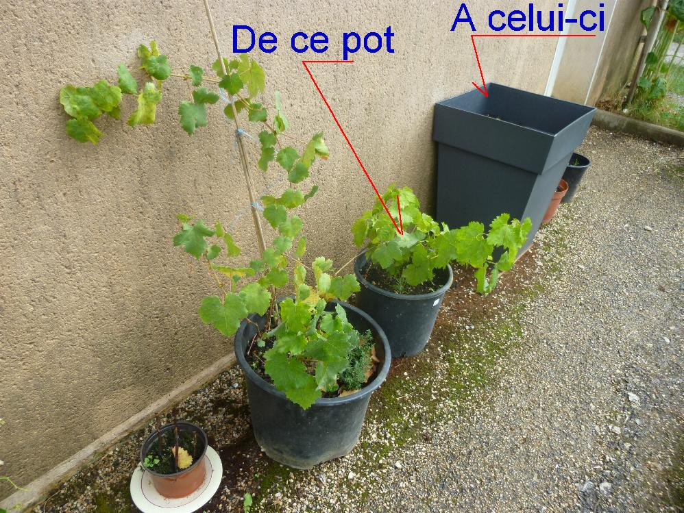 vigne en pot au jardin forum de jardinage. Black Bedroom Furniture Sets. Home Design Ideas