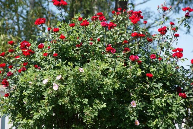 mois de juin fleuri vrai paradis au jardin forum de jardinage. Black Bedroom Furniture Sets. Home Design Ideas