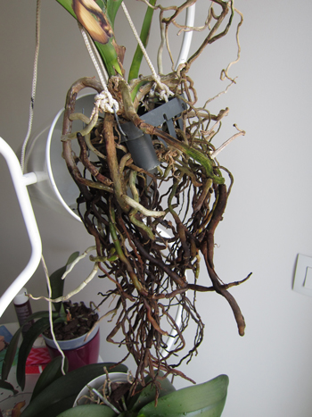 orchidee vanda racine seche